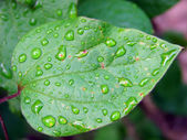 Leaf with dew — Stock Photo