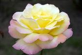 Una fioritura rosa è in un giardino — Foto Stock