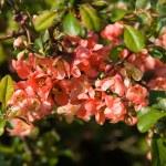 Flowering tree — Stock Photo #1475578