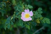 Dzikiej róży — Zdjęcie stockowe