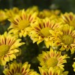 Chrysanthemum flowers — Foto Stock