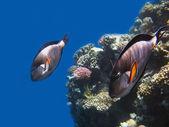 Světlé barvy korálové reeves — Stock fotografie