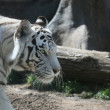 White tiger — Stock fotografie