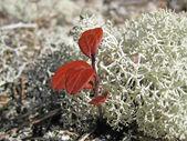 Tundra flory — Zdjęcie stockowe