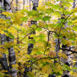 Birch wood in the autumn — Stock Photo
