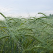 Ripening rye — Stock Photo