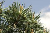 Branch of pine-tree — Stock Photo