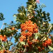 Mountain ash berries - Stock Photo