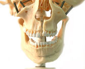 Model van schedel — Stockfoto