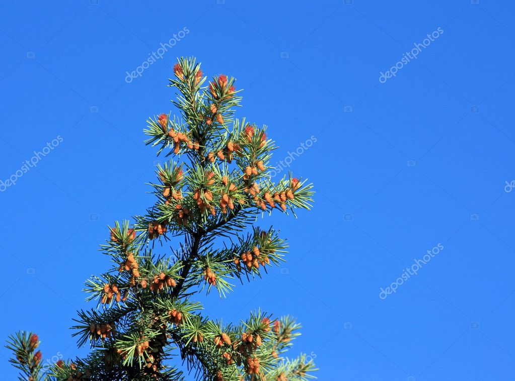 Fur-tree branch with  colors in the spring in the Siberian taiga — Foto Stock #1380175