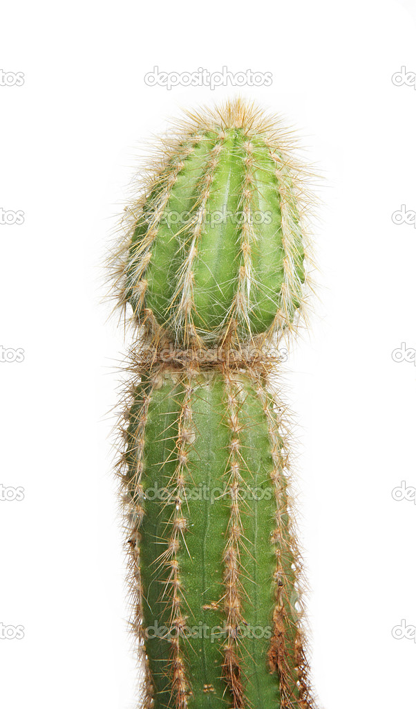 Cactus against white background — Stock Photo #1388714