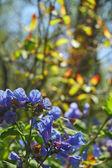 Primeros planos de flores bluebell — Foto de Stock