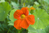 Orange nasturtium — Stock Photo