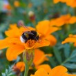 Bumblebee on the flower — Stock Photo