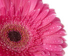 Purple Gerbera — Stock Photo