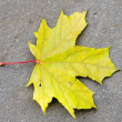Yellow maple leave — Stock Photo #1776460