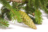 Fir cones — Stockfoto