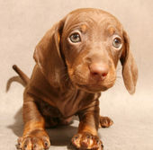 Cute brown dachshund puppy — Stock Photo
