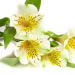 Alstremeria biały kwiat — Zdjęcie stockowe #1818994