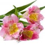 Alstremeria różowy kwiat — Zdjęcie stockowe #1819050