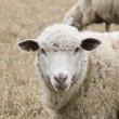 Sheep — Stock Photo
