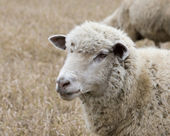 White sheep — Foto Stock