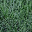 Background of a wet green grass — Stock Photo
