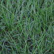 Stock Photo: Background of a wet green grass