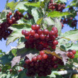 Mountain ash — Stock Photo #1394069