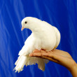 Dove — Stock Photo #1374573