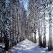 Birch alley — Stock Photo