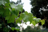 Grape leaves rain — Stock Photo