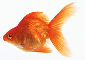 Golden Fish — Stock Photo