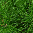 Pine needles — Stock Photo