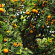 Mandarin Tree — Stock Photo