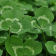 Stock Photo: Clovers