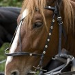 Horse in harness — Stock Photo #1382358