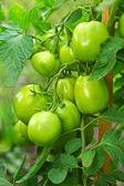 Green tomatoes — Stock Photo