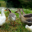 Geese on the bank of a pond — Stock Photo