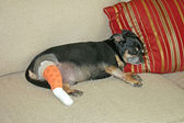 Injured Dog — Stock Photo