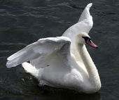 Flapping Swan — Stock Photo