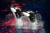 Ballenas asesinas — Foto de Stock