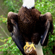 Stock Photo: Eagle