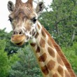 Giraffe - Lizenzfreies Foto