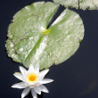 Lily Pad — Stock Photo #1389783