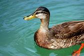 Duck Looking — Stock Photo