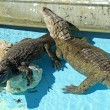 Stock Photo: Alligators
