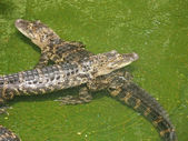 Two Alligators — Stock Photo