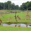 Stock Photo: Giraffes Safari Park