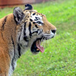 Stock Photo: Tiger Yawn